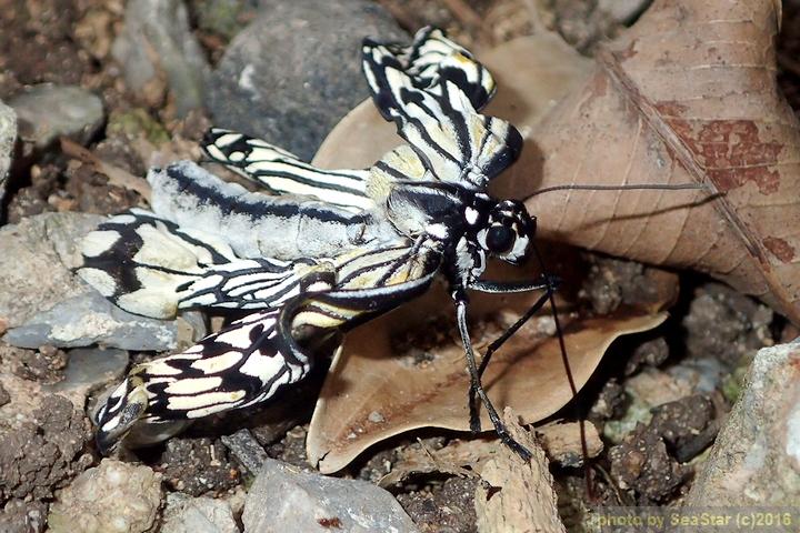 オオゴマダラ,羽化失敗