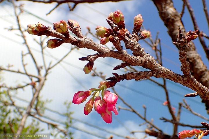 立春にほころぶカンヒザクラ