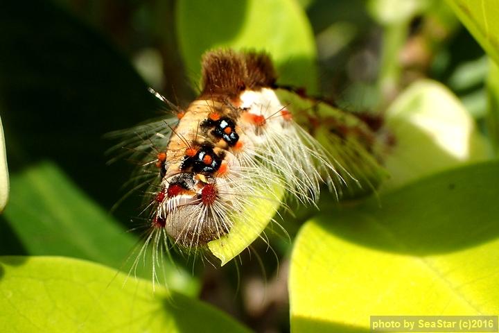 スキバドクガ幼虫