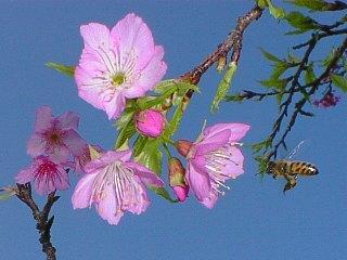 カンヒザクラを訪れるセイヨウミツバチ in Feb.2000