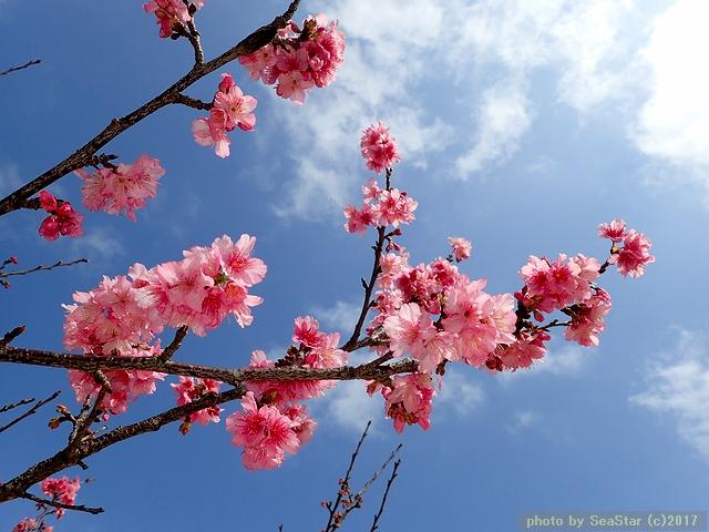 春の空とカンヒザクラ