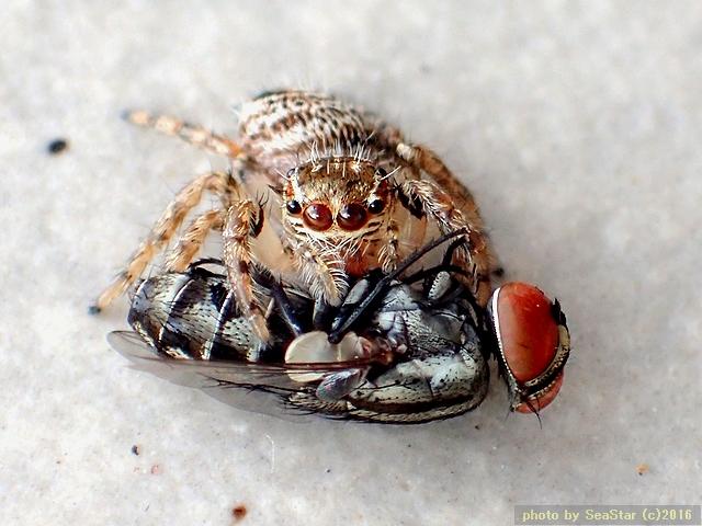 マミクロハエトリ近似種雌の狩り