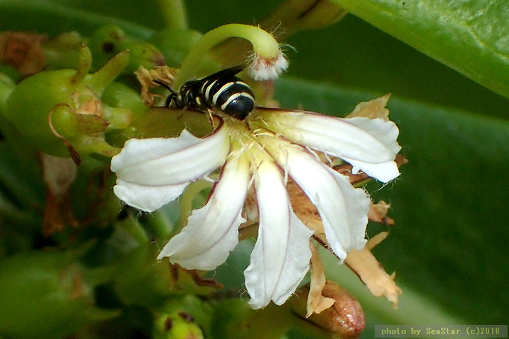 クサトベラを訪花するオキナワツヤハナバチ