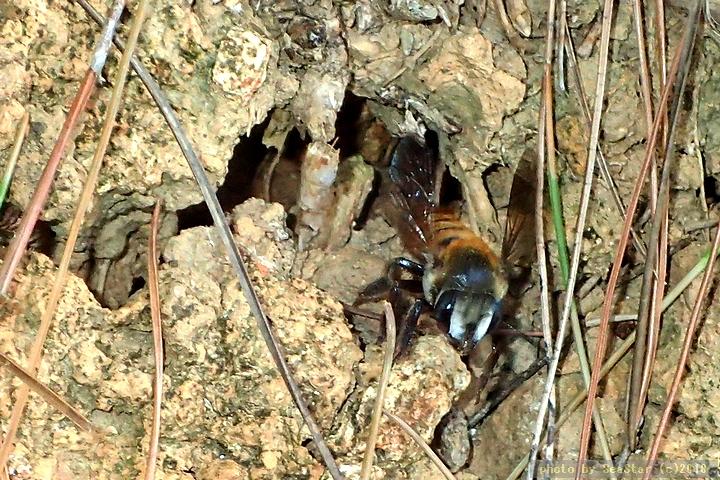 ツチバチ科の一種