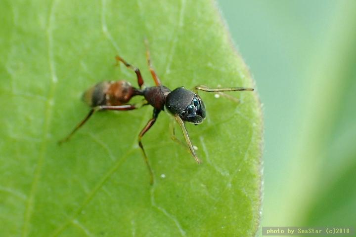 ヤガタアリグモの雌