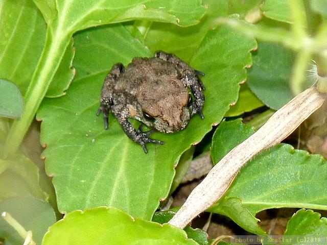 ミヤコヒキガエルの幼体