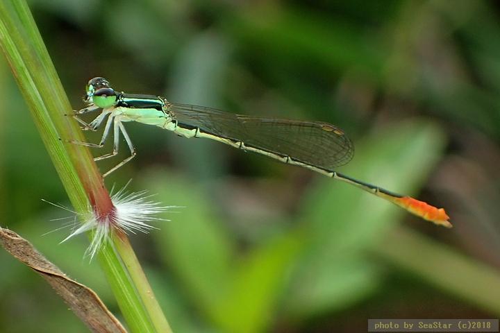 コフキヒメイトトンボ,未成熟な雄個体