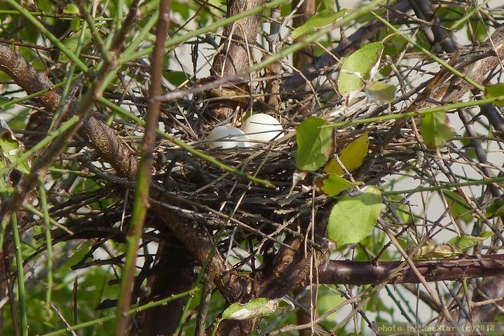 キジバトの巣と卵